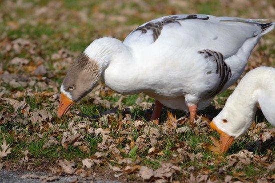 Bay City, MI: Snow geese eating at Bigelow Park.