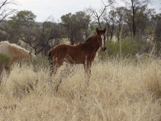 North Sydney, Australien: Brumbies on the Meerenie Loop Road