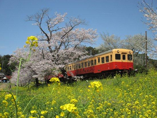 Itabu no Sakura