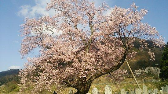 Shozu no Sakura