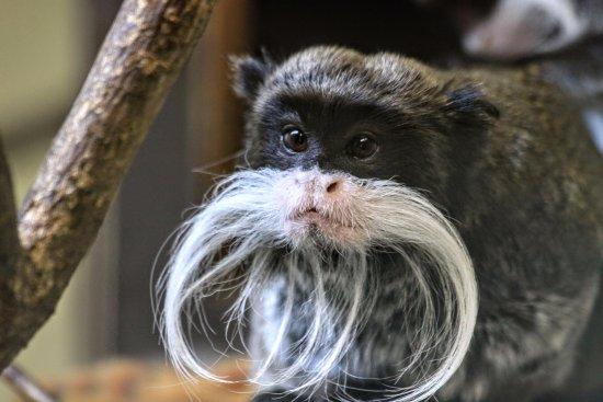 Zoo Plzeň: emperor tamarin