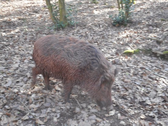 Mechernich, Germania: One of the many wild boar there