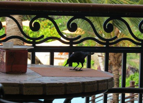 Lighthouse Terrace: The bajan blackbird - having breakfast