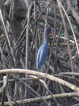 St. Ann's, Trinidad: a Great Blue Heron