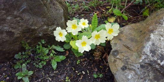 Robertstown, Irlanda: Primroses growing in the garden