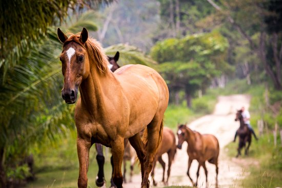 Cayo, Belize: Morning routine, horses arriving for the day's ride.