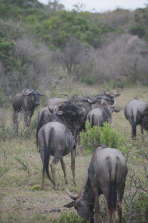 Kenton-on-Sea, Sudáfrica: Blue Wildebeest.
