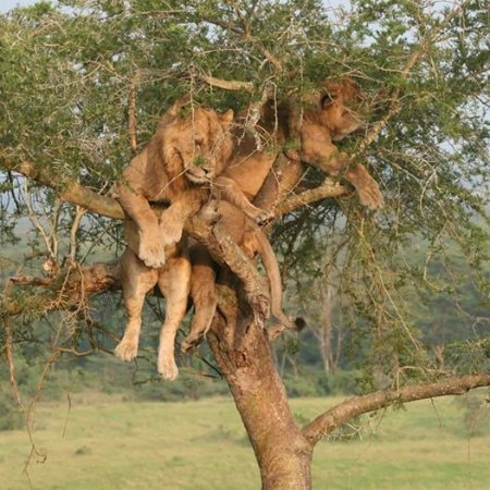 Kabale, Uganda: I captured this tree climbing lions while on a game drive in Queen Elizabeth N.park-Uganda.
