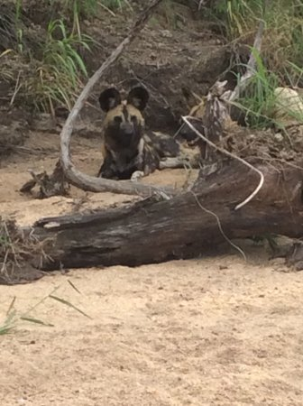 Londolozi Private Game Reserve, South Africa: Wild Dogs lying in the shade in a river bed