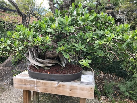 Morikami Museum & Japanese Gardens: 600 year old bonsai