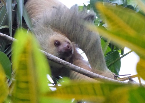 Playa Negra Guesthouse: Sloth moving from palm tree by pool