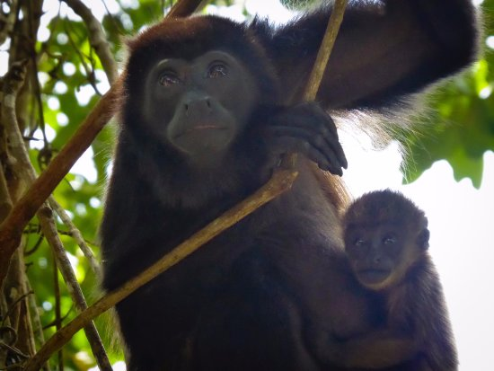 Playa Negra Guesthouse: Howler monkeys at National Park
