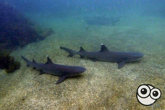 Puerto Villamil, Ecuador: Snorkel con tiburones