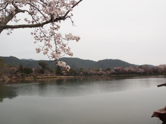 Osawaike: 桜が咲いて・・・