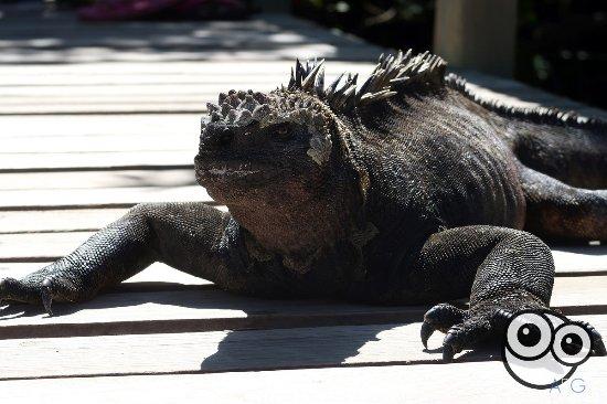 Concha de Perla: Iguanas en el sendero