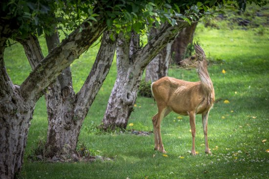 Lewiston, ID: A doe deer at Garden Creek Ranch, eating in the apple orchard