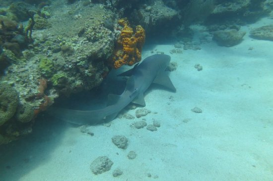 Salisbury, Dominica: Nurse shark