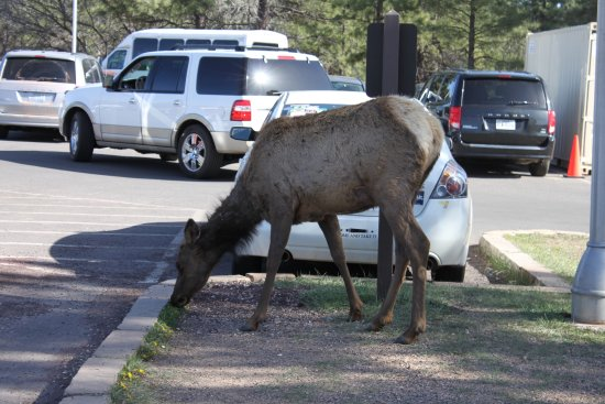 Yavapai Lodge: Market place Square - don't feed the animals