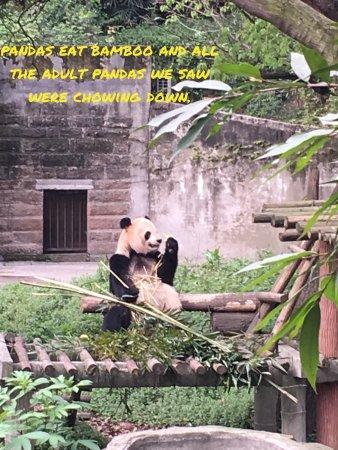 Chongqing Zoo (Chongqing Dongwuyuan): Panda