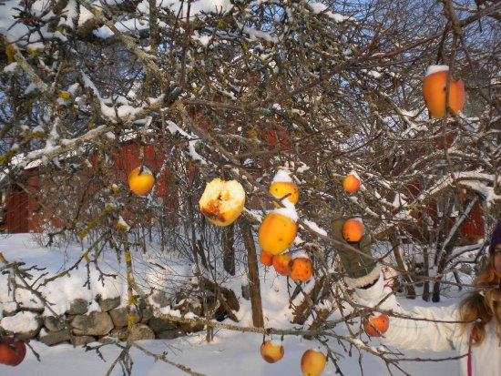 Flen, Σουηδία: harvest apples for apple ice wine