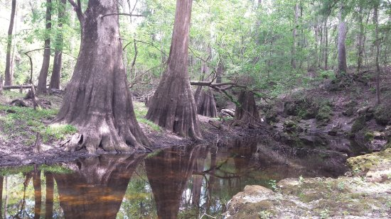 Live Oak, FL: Absolutely beautiful cypress trees!