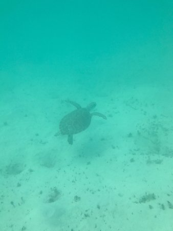Sapodilla Bay: One of two turtles we swam with