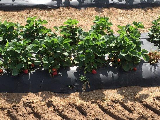Marble Falls, تكساس: Sweet Berry Farm