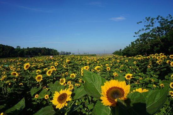 sunflower corporation Membership application the national sunflower association (nsa) is a non-profit corporation designed to advance the sunflower industry the organization is funded by farmers and industry memberships, dues and grants.