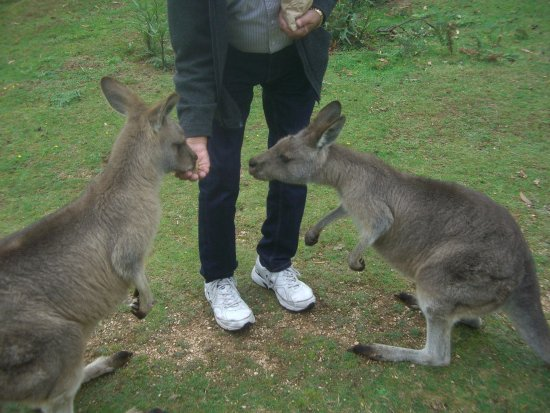 Mole Creek, Australia: The 'roos are polite and friendly and not aggressive.