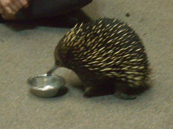 Beauty Point, Australië: An echidna eating some yummy worms
