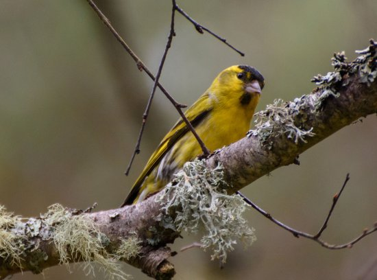 Boat of Garten, UK: Siskin