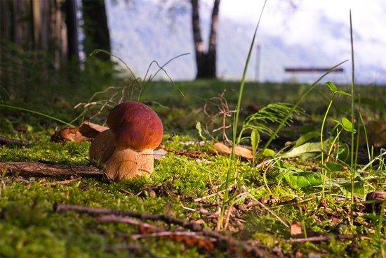 Steinpilze in unserem Park