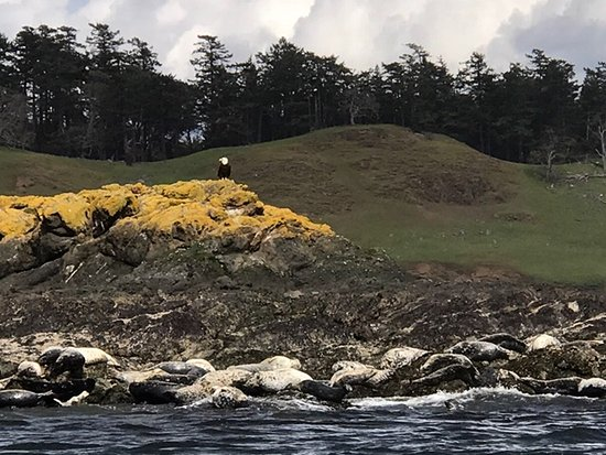 Friday Harbor, WA: Seals and a bald eagle perched on top