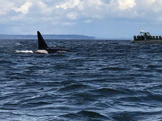 Friday Harbor, WA: Orcas