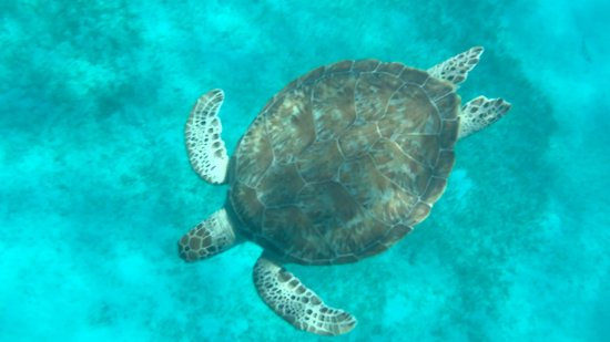 Doubloon Pirate Ships: Wild sea turtle