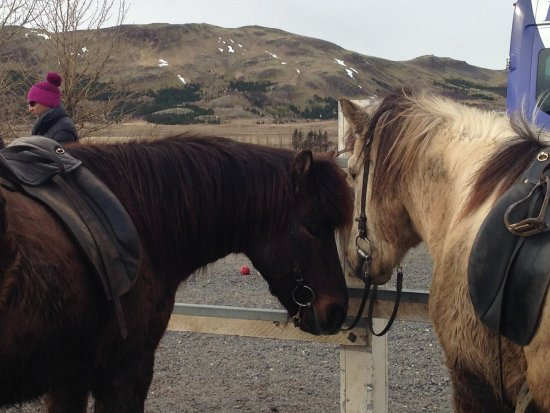 Laxnes Horse Farm: Pre-ride, getting to know the horses.