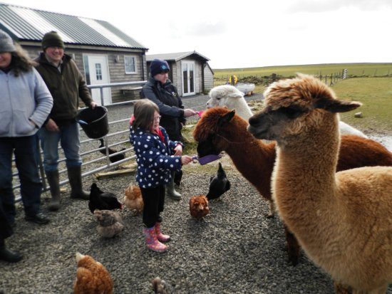 Deerness, UK: Feeding the alpacas