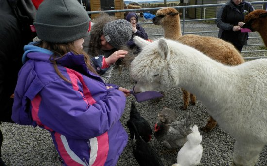 Deerness, UK: Feeding and petting the alpacas
