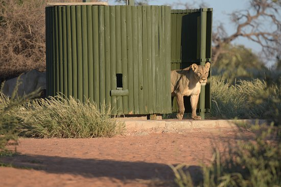 Kgalagadi Transfrontier Park, บอตสวานา: Lions at the back of the shower by the basins as well as in the shower...