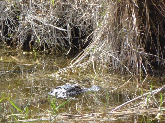 Copeland, FL: Gator