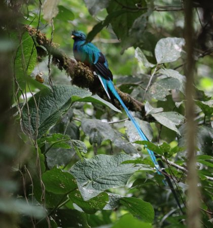 Pipeline Trail: Our first glimpse of a Resplendent Quetzal in Panama was on this trail.