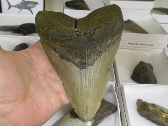 Beausejour, Canada: Megalodon Shark Tooth
