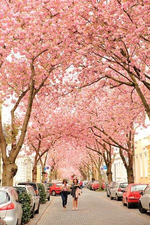 Cherry Blossom Bonn 2019 Alles Wat U Moet Weten Voordat Je Gaat