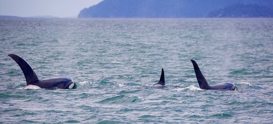 Steveston Seabreeze Adventures & Whale Watching: Orca family
