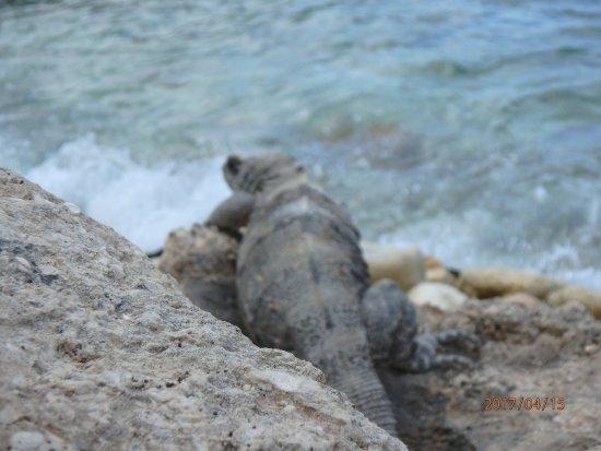Tikila Bar: Iguana by the shore