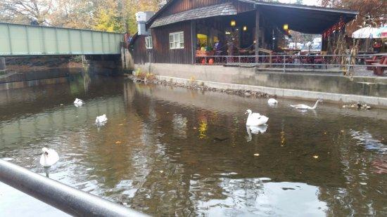 Elysburg, PA: swans