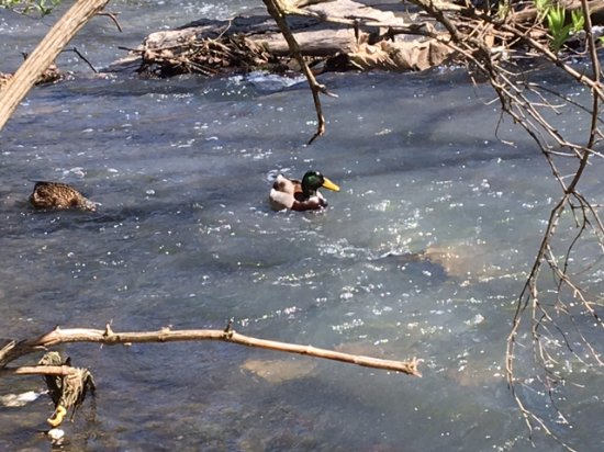 Dublin, OH: ducks in the rapids on the top side of the falls