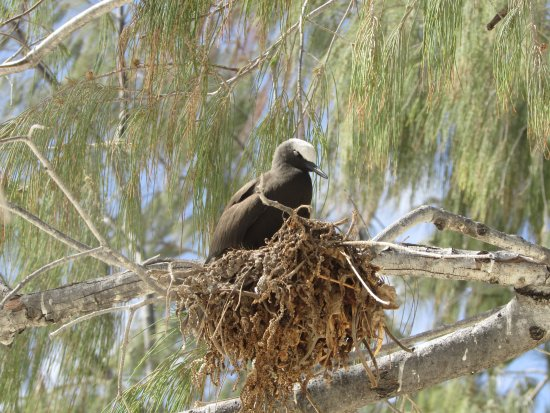 Lady Elliot Island, Australia: White headed noddy