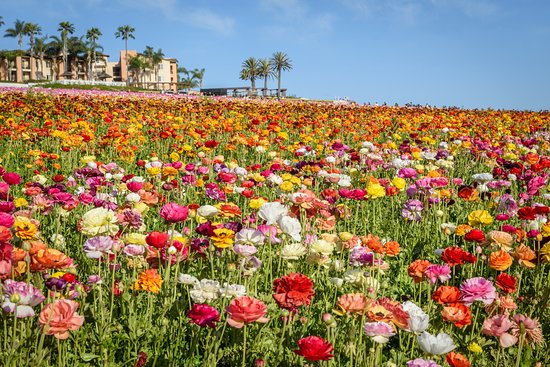 Carlsbad Flower Fields Such A Beautiful Place