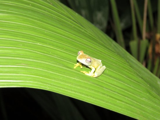 Greentique Costa Rica Tours: Glass Frog